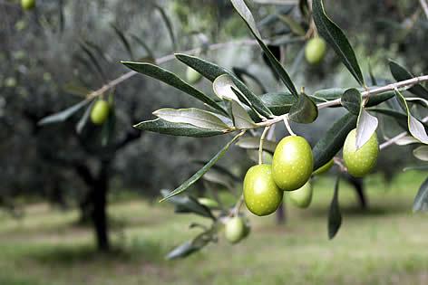 albero-ulivo-salento